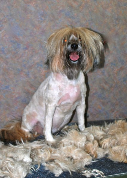 Tibetan Terrier sheered