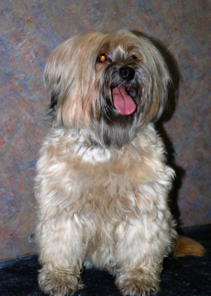 Tibetan Terrier before groom